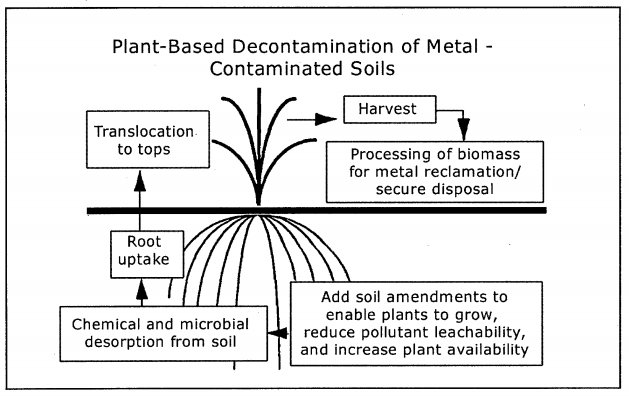 Plant based decontamination of metal contaminated soils-1