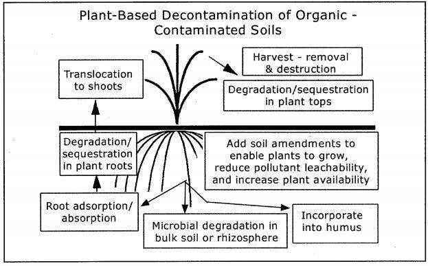 Plant based decontamination of organic contaminated soils